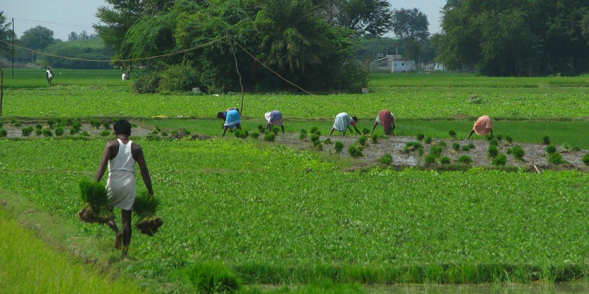 Agricultural field works Kanchipuram