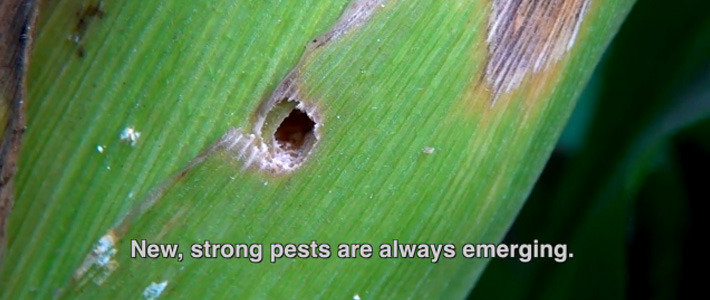 Corn pests