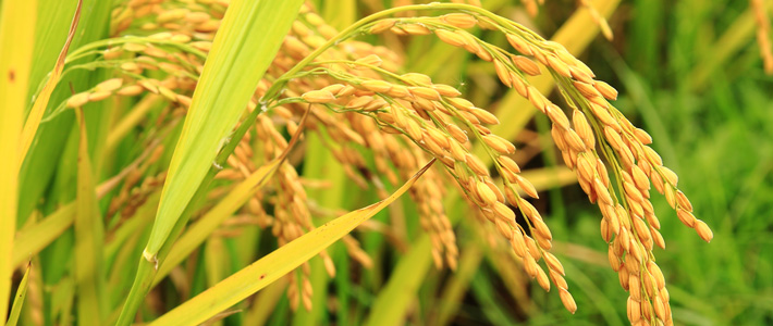 Golden Rice in the field