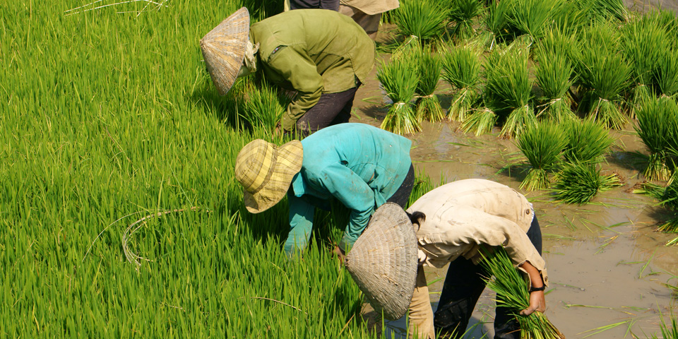 Group of Vietnamese Farmers Sowing Rice