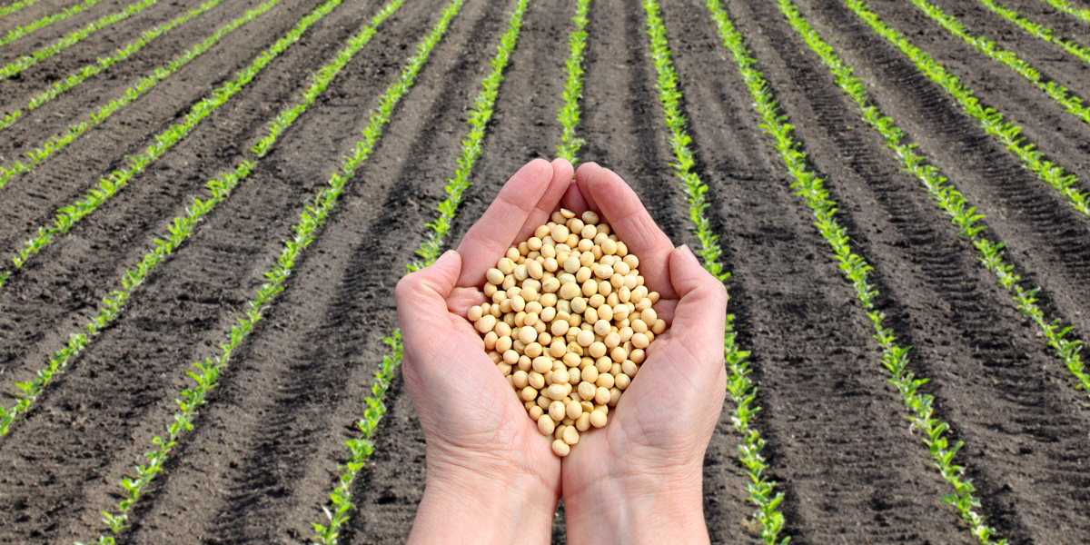 Soybeans in Hands