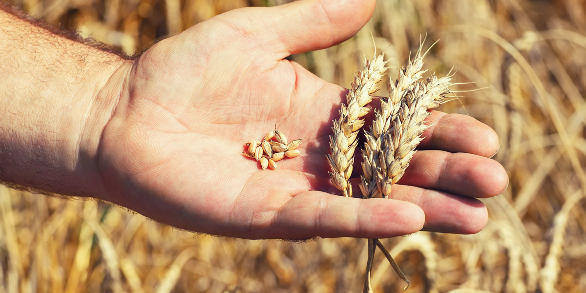 Wheat head in hand