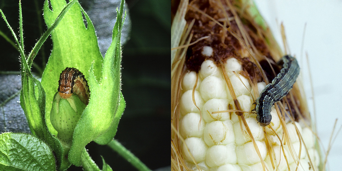 Corn bollworm and corn earworm