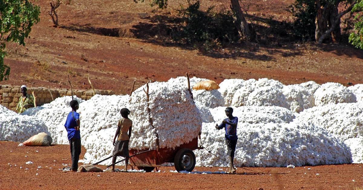 Cotton Harvest in Africa