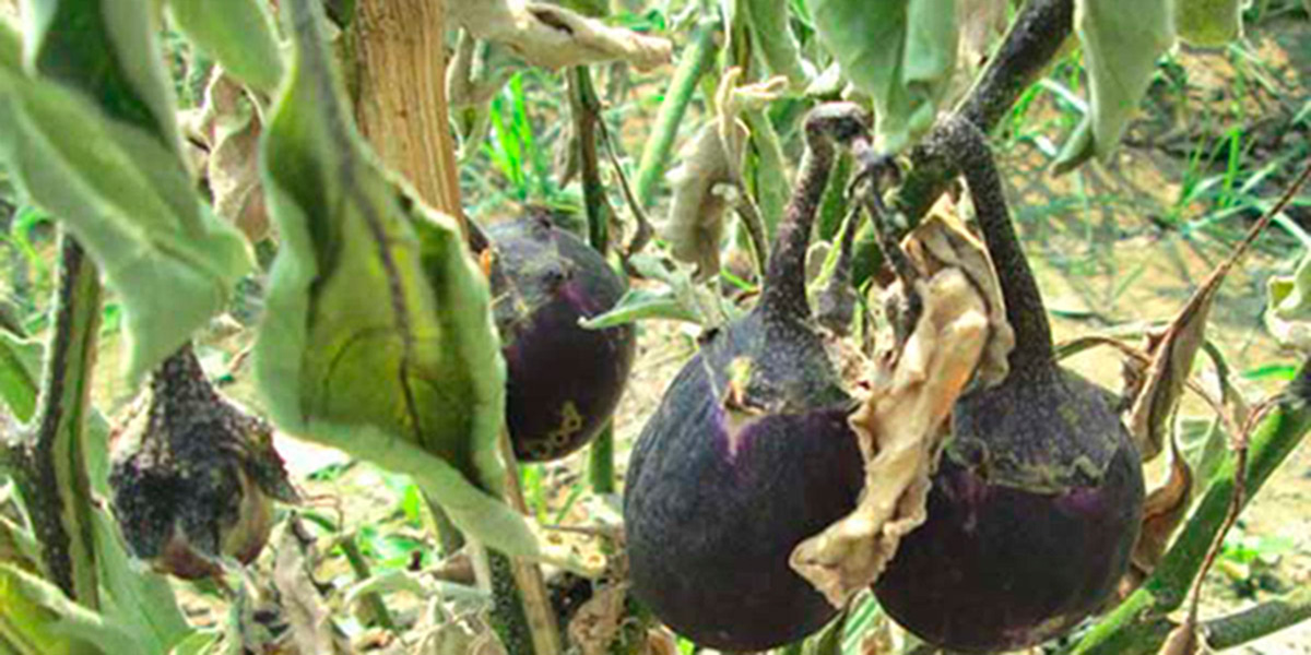 Damaged Bt Brinjal in Bangladesh