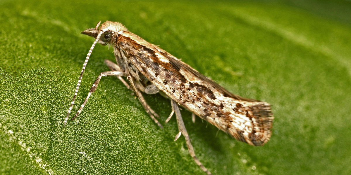 Diamond back moth - Plutella xylostella