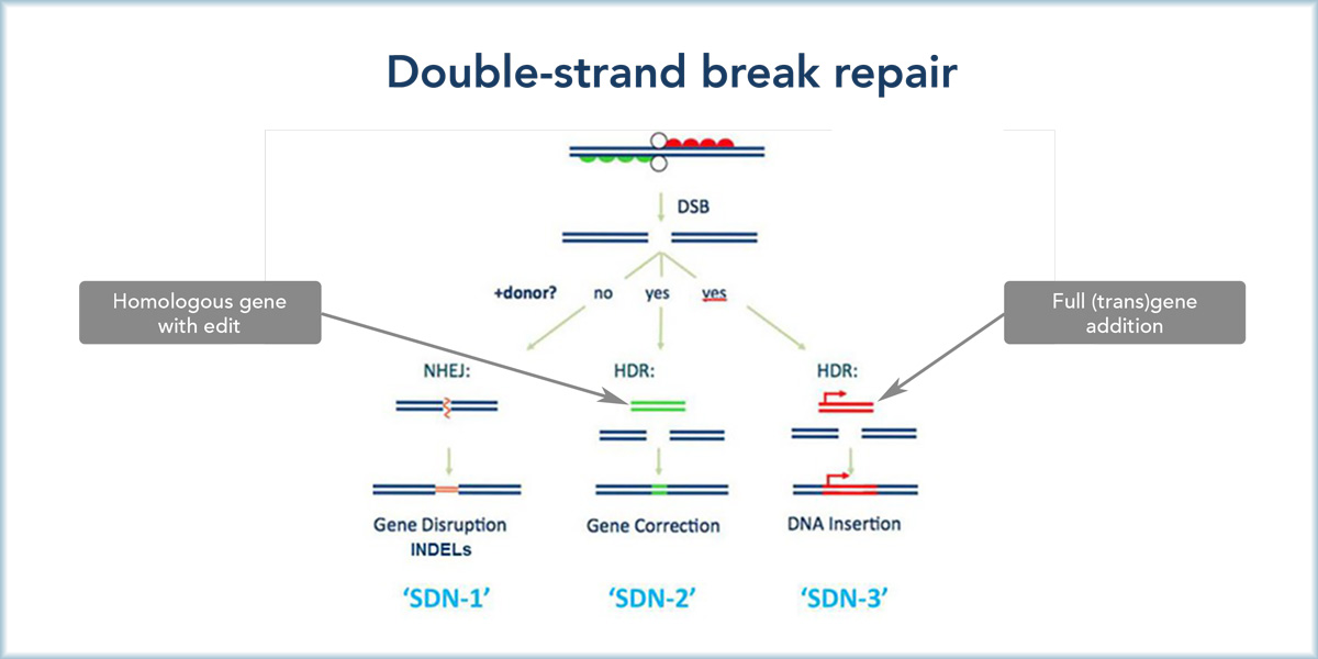 Double Strand break repair SDNa