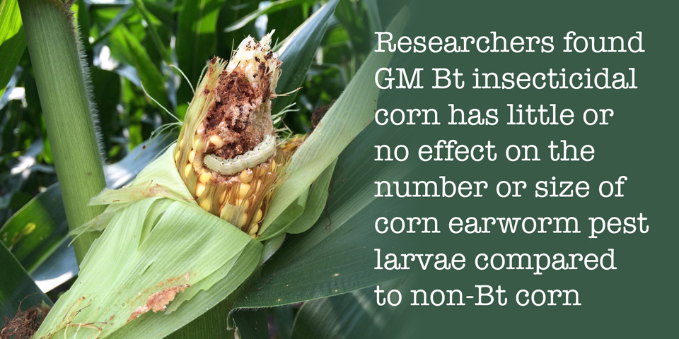Earworm resistance found in GMO-corn