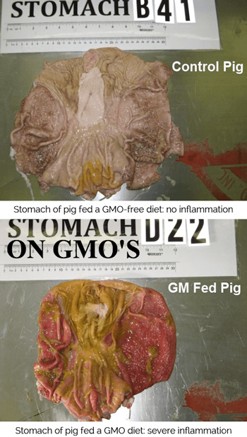 GM Fed Pig stomach - severe inflamation