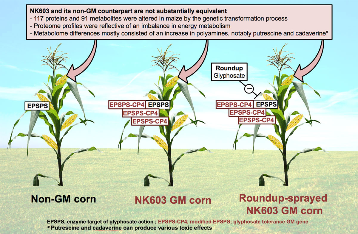 GMO maize NK603 not substantially_equivalent to non-GMO counterpart