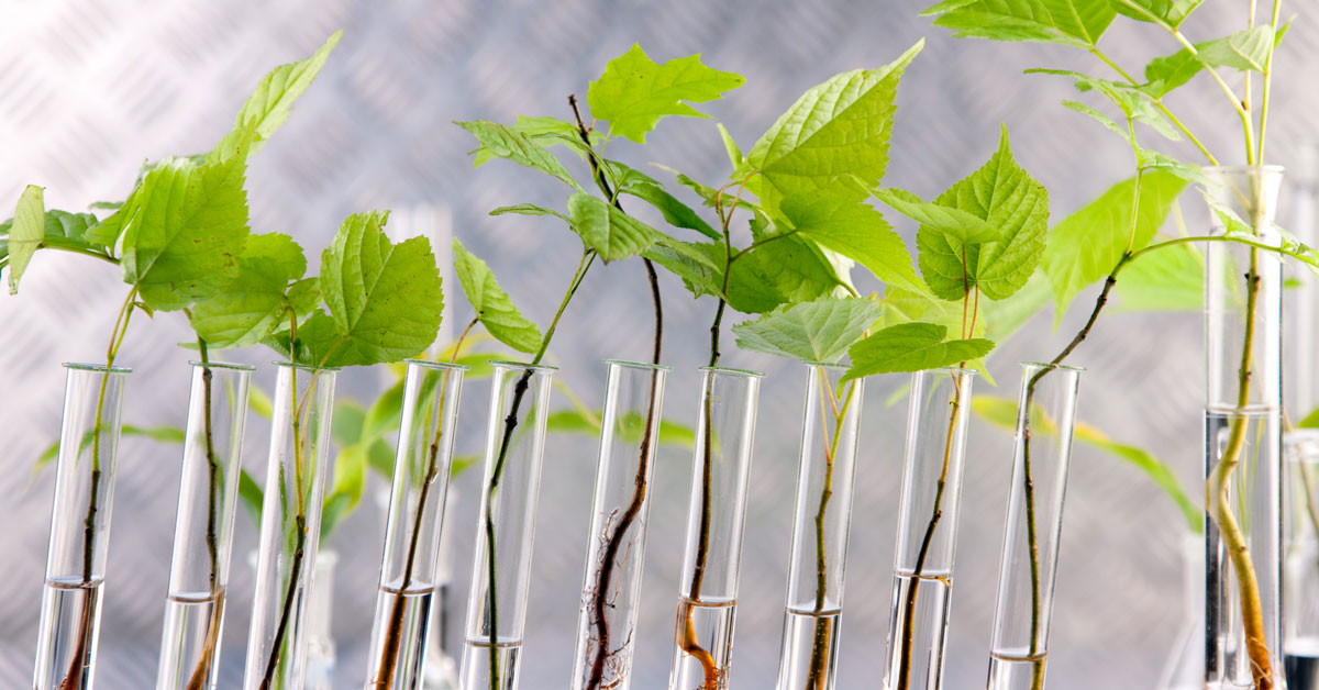 Genetically modified plants in test-tubes