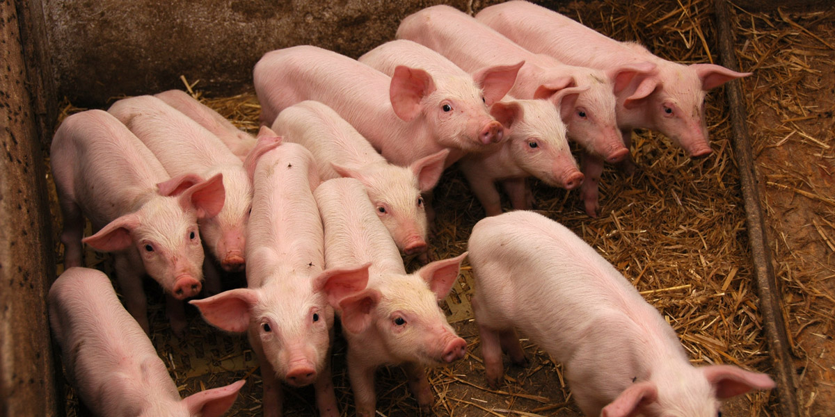 Group of young pigs
