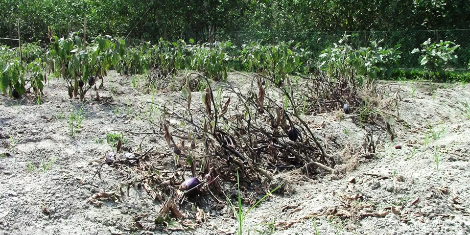 Half barren bt brinjal plot of Abul Hossain of Dhanua Narsingdi