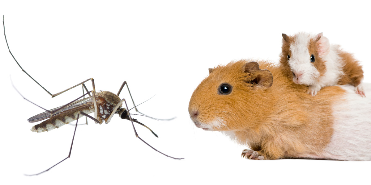 Mosquito and Guinea pig
