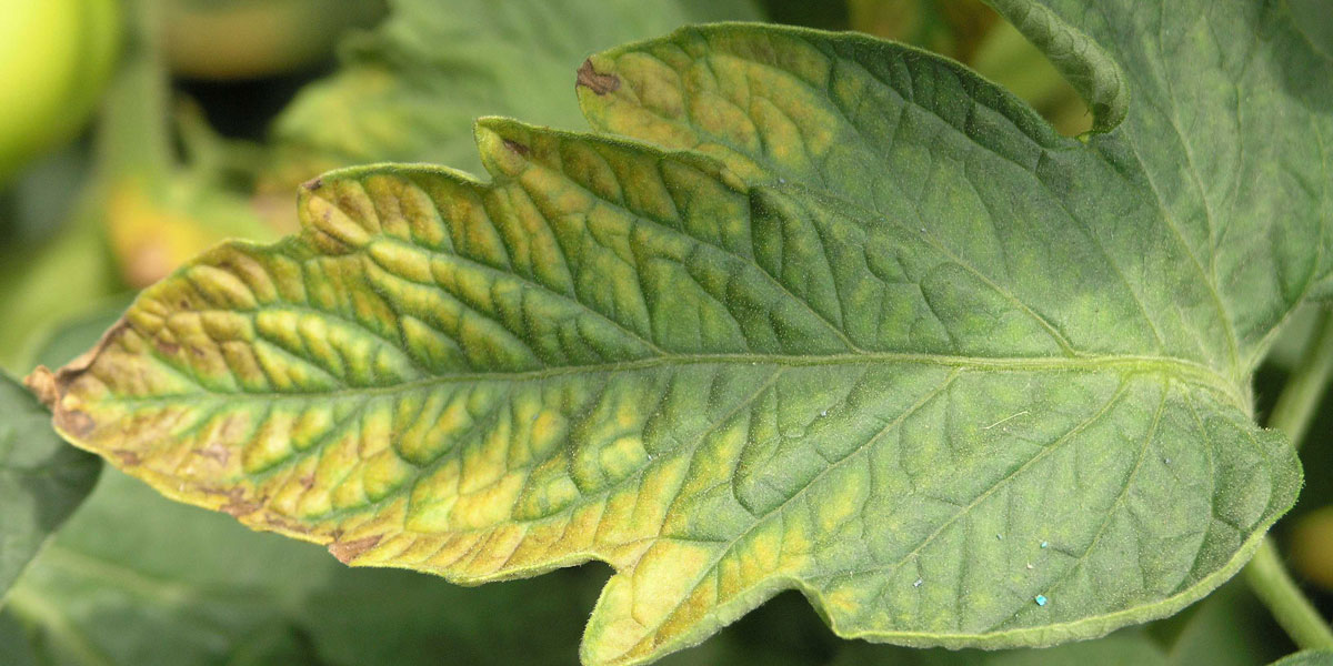 Potassium deficiency symptoms on a tomato leaf