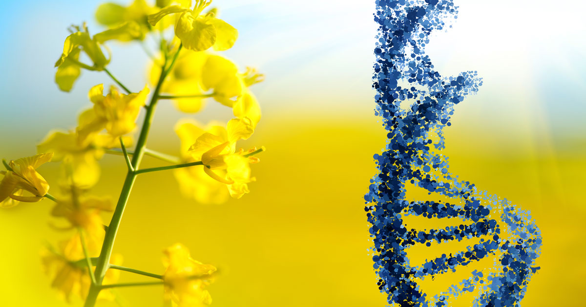 Rape/Canola flower and DNA strand