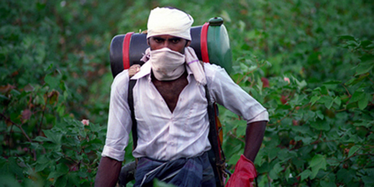 Spraying Roundup Glyphosate in India on GM Bt cotton