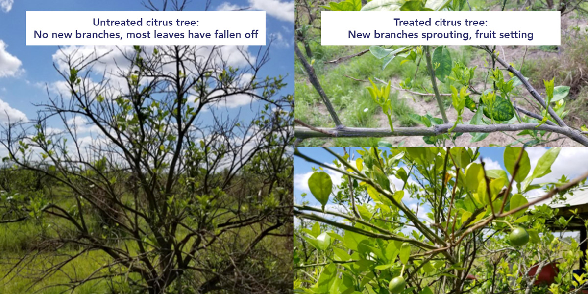 Treated and Untreated citrus tree