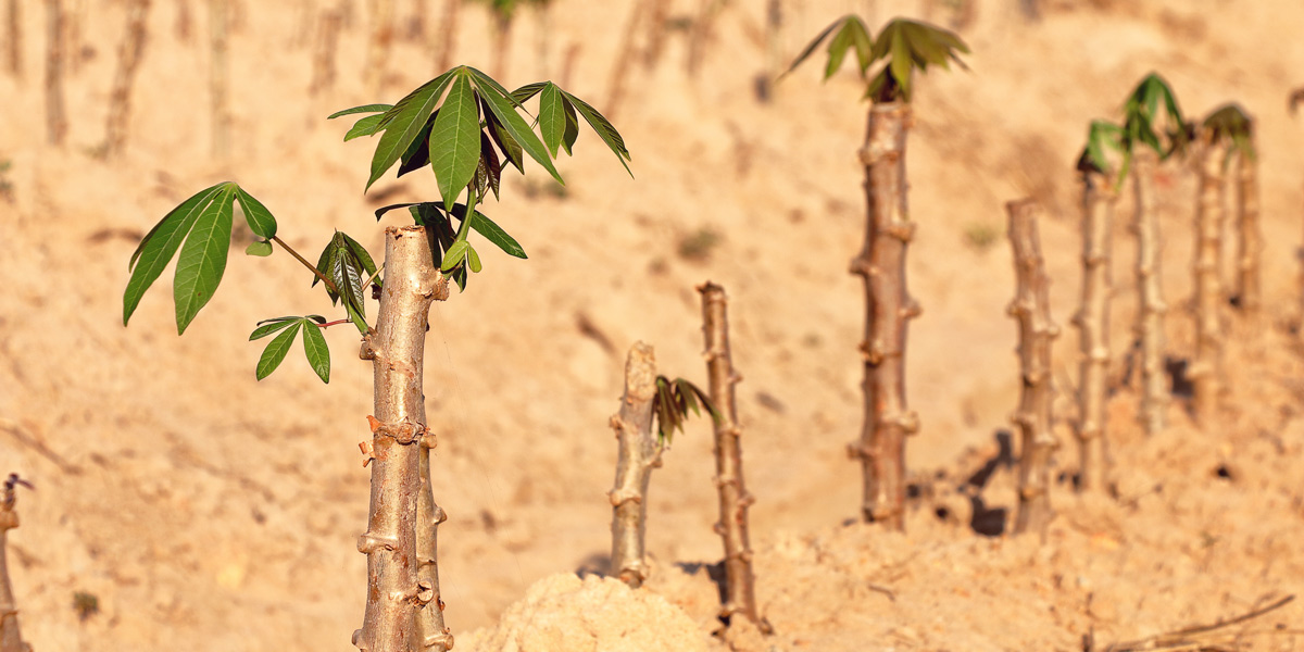 Young Cassava Cultivation Plants