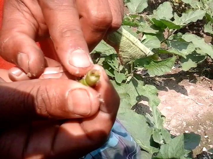 Mohammad Ali Nimsar showing BFSB affected shoot of Bt brinjal plant