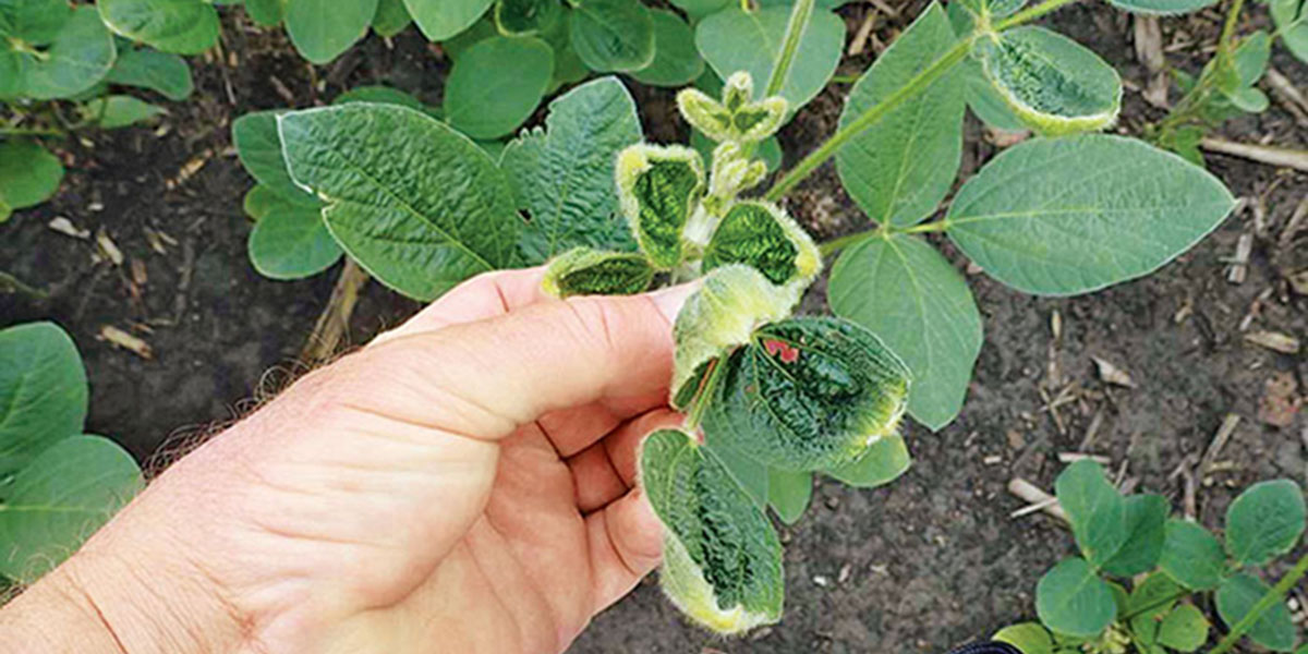Dicamba damaged soybean plant